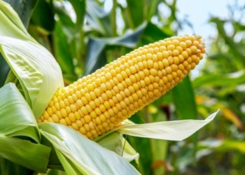 300,000 MT of Maize to be Released Into the Market in February 2021