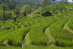 Sawah Eco-technology Could be the Solution in Rice Production
