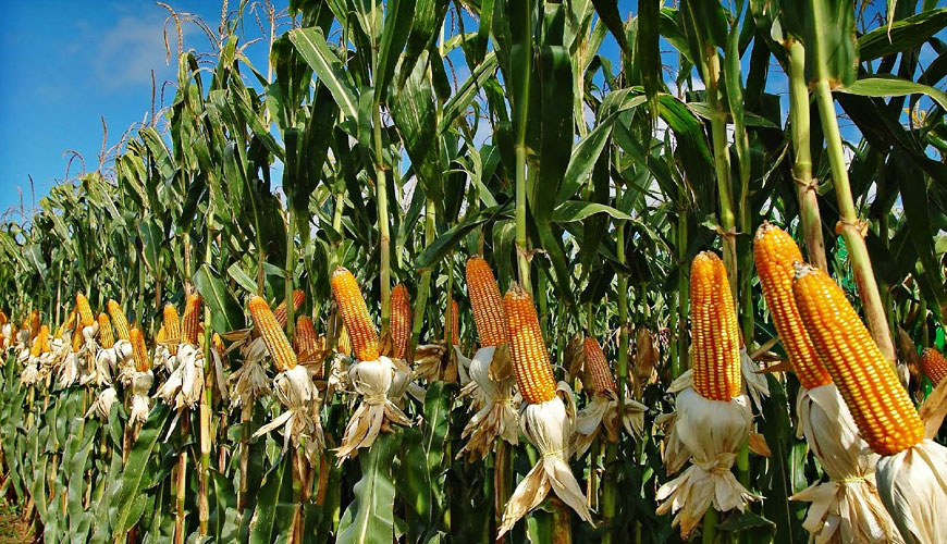 Nigeria to spend N126.8 billion on importation of maize by 2029